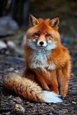 a-raposa-baralho-cigano