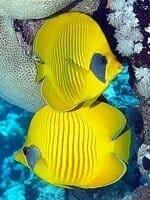 o-peixe-baralho-cigano